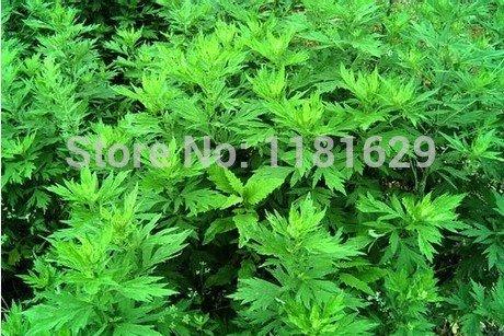 (Mélanger l'ordre minimum 5 $) 1 paquet d'origine 50 pcs Aromatique Blumea Herb Seed Blumea aromatria plantes en pot balcon Livraison gratuite