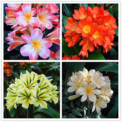 Mix: Echt Clivia Samen Samen Kefir Lilie Blumensamen Dekorative Garten Blumen Samen Bonsai Pflanze Für Hausgarten 100 Stücke, Einfach Zu Wachsen