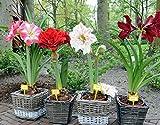 2016 Hippeastrum semi bulbi bonsai Amaryllis Barbados giardino domestico giglio fai da te giglio in vaso semi di bonsai balcone fiori 100pcs / bag