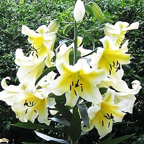 1x Lilien Zwiebel Blumenzwiebeln mehrjährig winterhart Weiß Gelb Baumlilie Riesenliie
