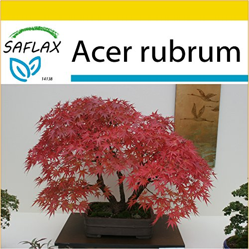 SAFLAX - Anzucht Set - Bonsai - Rotahorn - 20 Samen - Mit Mini-Gewächshaus, Anzuchtsubstrat und 2 Töpfen - Acer rubrum