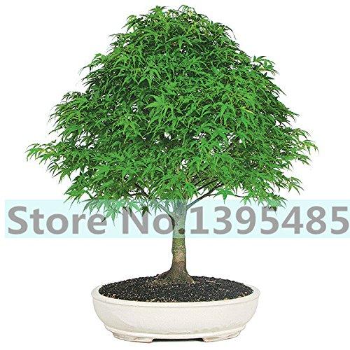 20 rares graines d'arbres d'érable sang de qualité d'érable rouge arbre Graines Bonsai Maison & Jardin graines pour jardinières de fleurs en pot