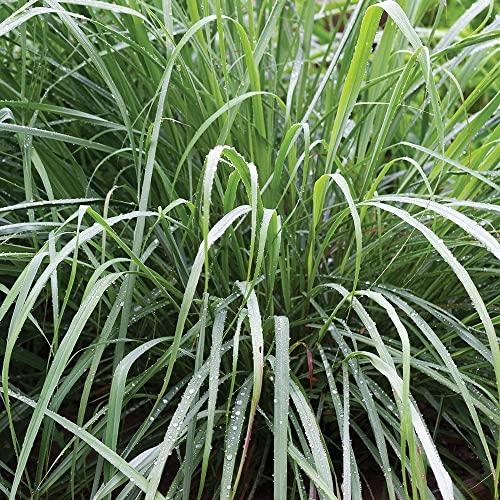 Lemongrass Seeds, Culinary Herb Thai Lemon Grass Seeds for Planting (1000+...