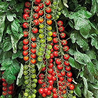 2018 Hot Sale Davitu Tomato 'Rapunzel' Green Red Bonsai Cherry Tomato, 100pcs 'Seeds' Heirloom High Yield for Home Garden Fruits