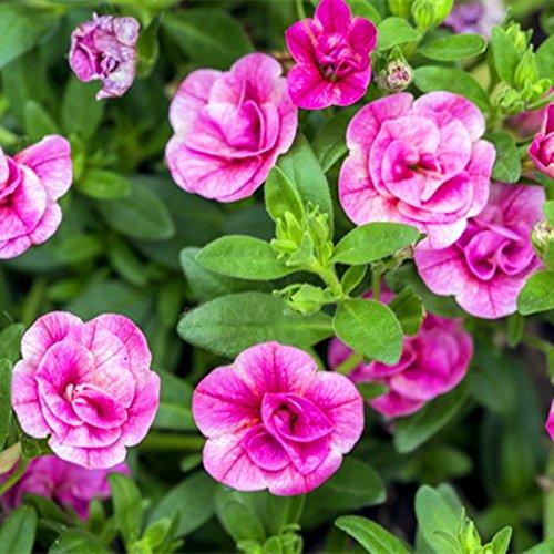 100 pcs/sac pétales de rose graines de pétunia tourbillonnent suspendus graines de fleurs bonsaï courte hauteur jardin originale pot intérieur ou ourdoor
