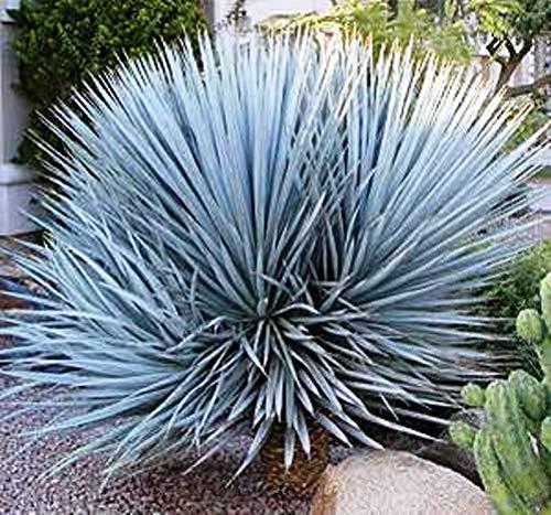 CROSO Keim Seeds Nicht NUR Pflanzen: 20 Seeds - Yucca - Yucca Rigida