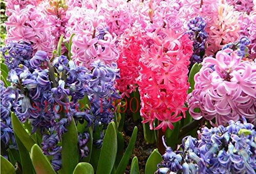 2015 nouvelles semences Hyacinthus Orientalis, graines bon marché jacinthe, Hyacinth graines en pot, Bonsai graines balcon de fleurs pour la maison jardin