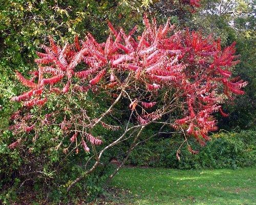 500 Essigbaum Baum Samen, Rhus Typhina