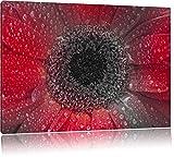Rote Gerbera mit Wassertropfen schwarz/weiß Format: 100x70
