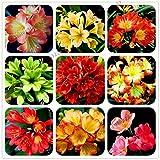 Semi Pacchetto Non Piante: 5: 100Pcs Clivia FlowerSemente rari Semi Bonsai Garden Fiori