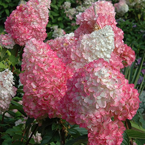 20 pcs semillas Hydrangea paniculata 'vainilla Fraise' fresa de hortensia semillas de flores bonsai semillas de plantas en maceta para el jardín de púrpura