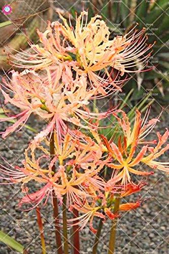 2PCS vrai Lycoris Radiata Ampoules Bana Ampoules (pas de graines) Fleurs en pot Ampoule d'intérieur Bonsai usine pour la maison de jardin 4
