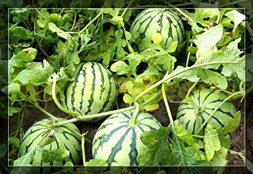 1bag = 30pcs HOT JAPONAIS graines de pastèque délicieux fruits géants graines NO OGM bonsaï DOUX MELON maison et le jardin