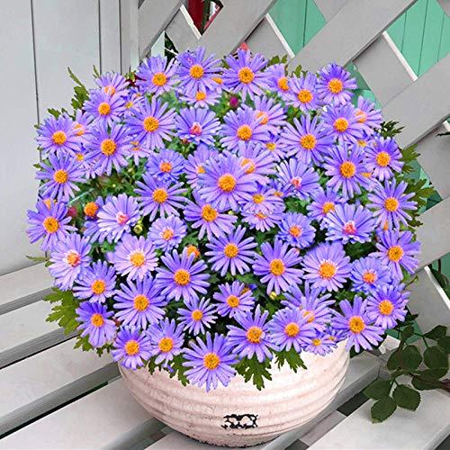promworld Lange Blütezeit winterhart,Chrysantheme Topf Samen-10kg,Blumensamen mehrjährig