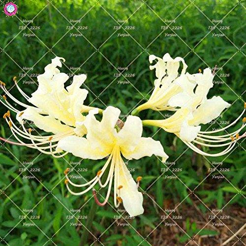 2PCS vrai Lycoris Radiata Ampoules Bana Ampoules (pas de graines) Fleurs en pot Ampoule d'intérieur Bonsai usine pour la maison Jardin 8