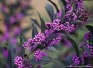 Pearl Glam Beautyberry 4 Inch Pot Callicarpa Proven Winners AG002