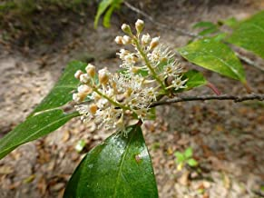 Seeds PACAKGE ONLY NOT Plants: Cherry Laurel Seed (Prunus) ? Bare Root Seed