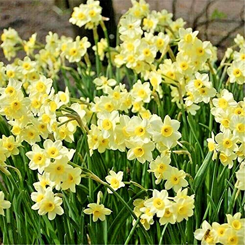 Bulbos de narciso/ Magnífico / patio jardín / elegante / valor ornamental / brillante / impresionante / postura-12 Bulbos,B