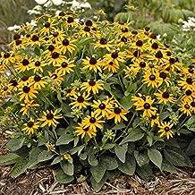 Black Eyed Susan - Rudbeckia Goldstrum 10 Bare Root Mature Healthy Live Perennial Plants Enjoy Beautiful Golden Flowers All Summer Long