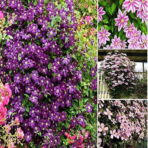 Kisshes Seedhouse - 50pcs graines de Clématite fleur grimpante plante grimpante exterieur résistant au froid