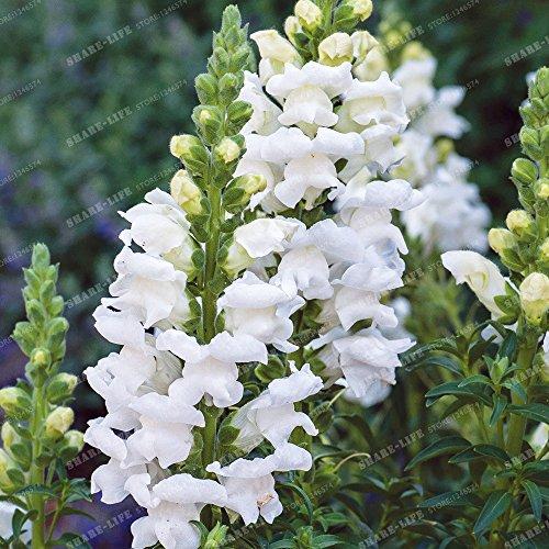 100 Pcs muflier Majus Graines Mixte nain Couleur commune snap Graines de fleurs Jardin Accueil Plantes Bonsai pot So Beautiful 2