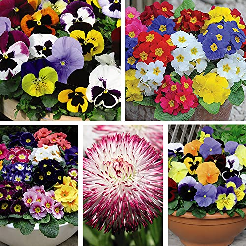 Ultimate Winter Bedding Collection Garden Plant Hardy Perennial Winter Flowering Plant Easy to Grow...