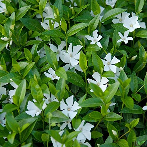 Vinca minor alba immergrüner Bodendecker winterhart 5-7 Triebe pro Topf weiß (20 Stück)