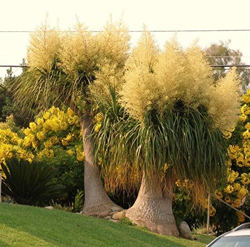 Beaucarnea Recurvata, Elephant Foot Ponytail Palm Caudex Bonsai Plant 2' Pot