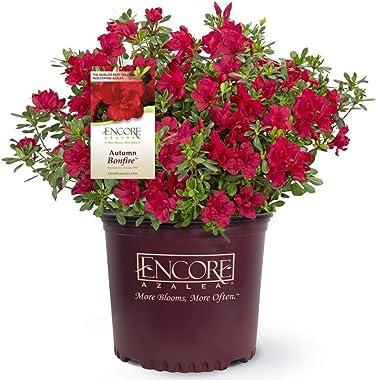 1 Gallon - Encore Azalea Autumn Bonfire - Red Multi-Season Blooming Evergreen Shrub