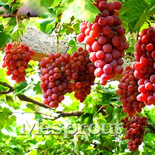 Delicious Rose Red Round Grape Seeds Advanced Fruit Seed Natural Growth Grape Delicious Gardening Fruit Plants Seeds 50Pcs
