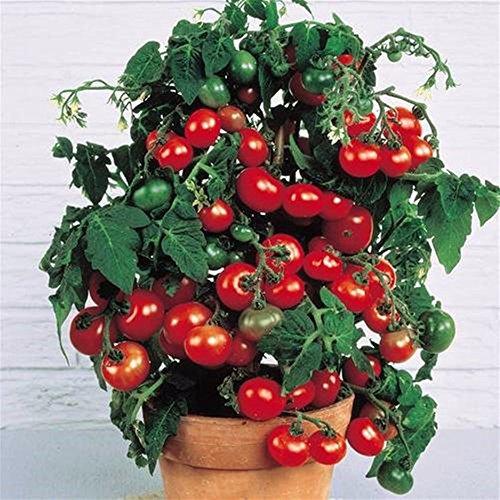 2016 Promotion New Outdoor Plants semences de tomates Jardin Mini pot Bonsai Balcon 100pcs Légumes de fruits de semences