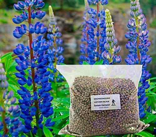 Lupinen Blaue Probor Gründüngung 500 g Frische Saat