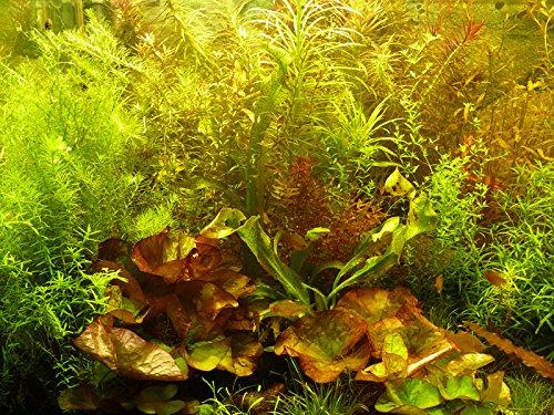 Zoomeister - 30 Aquarium-Pflanzen schnellwachsend gegen Algen + 2 Lotus-Knollen