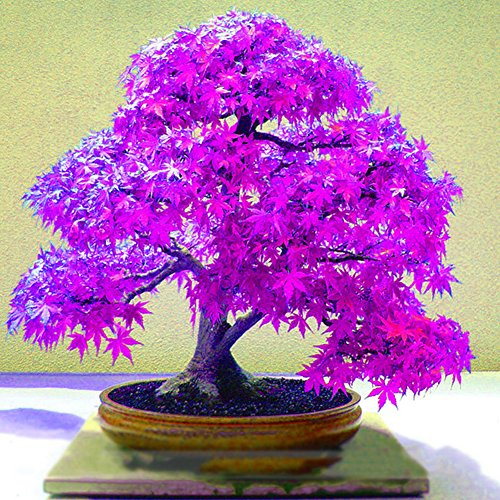 Centraliain Violetter Ahorn-Samen, 20 Stück, schöne lila Ahorn-Samen für Zuhause, Garten, Hof, Bonsai-Pflanzen, Ornament