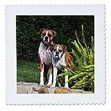3dRose Zwei Boxer Hunde–US05zmu0055–Zandria
