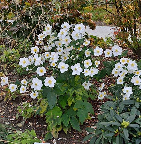 Herbstanemone Honorine Jobert - Anemone...