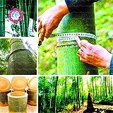 semillas de árboles de bambú Bambusa Lako semillas 40pcs gigantes raros gigantes MOSO negro semillas de bambu bambú paquete profesional para el jardín de