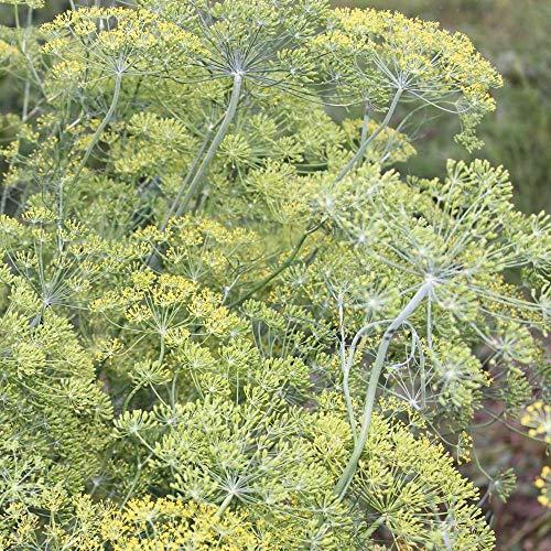 ca. 2000 Samen Dill Blattreich - Anethum graveolens, beliebtes Gewürzkraut
