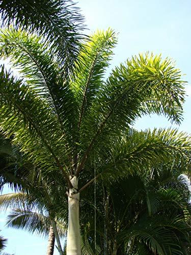 Fuchsschwanzpalme Wodyetia bifurcata Pflanze 15-20cm sehr seltene Palme Rarität
