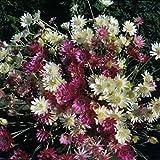 Semillas eterna Siempreviva doble mezcla (Xeranthemum annuum) Flores anuales