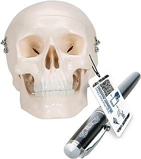 3B Scientific A18/15 Modelo de anatomía humana Cráneo Miniatura, de 3 Piezas + software de anatomía gratuito - 3B Smart An...
