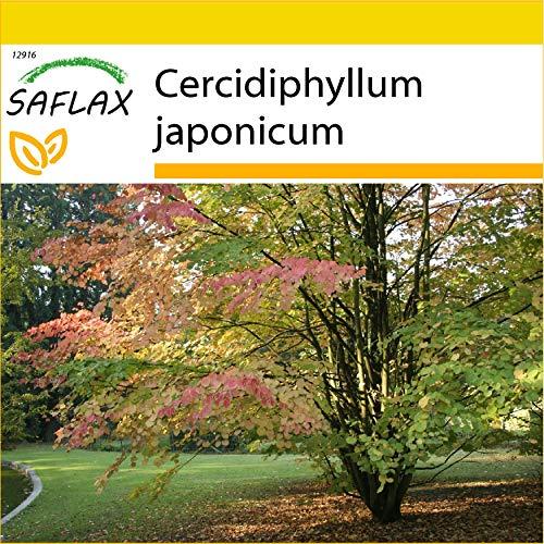 SAFLAX - Anzucht Set - Lebkuchenbaum - 200 Samen - Mit Mini-Gewächshaus, Anzuchtsubstrat und 2 Töpfen - Cercidiphyllum japonicum