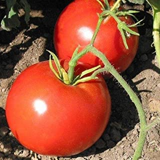 Boxcar Willie Tomato Seeds - 10+ Rare Non-GMO Organic Heirloom Vegetable Garden Seeds in FROZEN SEED CAPSULES for The Gardener & Rare Seeds Collector - Plant Seeds Now or Save Seeds for Years