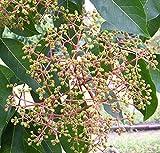 Bienenbaum, Tausenblütenbaum, Euodia hupehensis, Tetradium daniellii (80-100 cm)