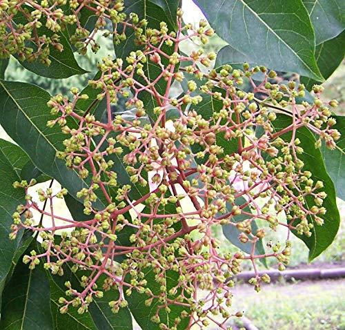 Bienenbaum, Tausenblütenbaum, Euodia hupehensis, Tetradium daniellii (40-60 cm)