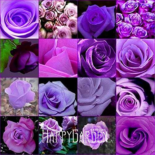 Big Sale! 10 Pcs / Paquet pas cher Burpee rare parfum Couleurs Purple Rose graines semences de fleurs maison jardinage plantes d'extérieur jardin, # BP5A5F