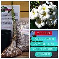 【希少なハイブリッド種】プルメリアのベアルート発根苗 'Singapore White' 栽培セット【スリット鉢・プルメリア専用培養土・栽培説明書つき】