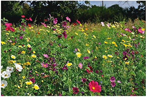 Lot 50 graines Bio Fleurs Sauvages Mélange - plante annuelle