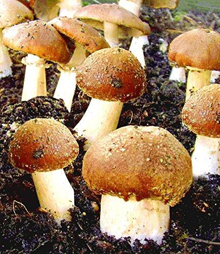Garten-Pilze Braunkappen-Set, 1 Komplett-Set Pilzzucht Pilzbrut