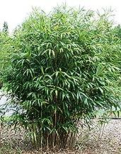 50+ Arrow Bamboo Seeds Yadka Bamboo pseudosasa Japonica